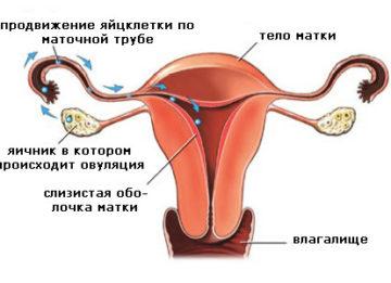 Причины выделения крови во время овуляции