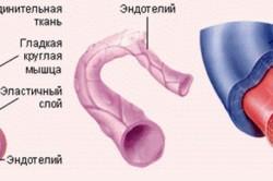 Особенности строения кровеносных сосудов