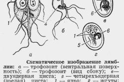 Схематичное изображение лямблий