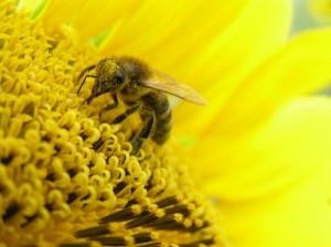 Пчелиная пыльца в лечении простатита